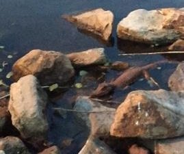 Mayor shares pictures of gator in Duck Pond, provides update